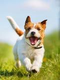 hundstålar russell royaltyfria bilder