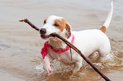 hundstålar russell Arkivbild