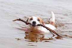 hundstålar russell Arkivfoto