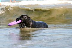 Hundstag i vågor i havet med leksaken royaltyfria foton