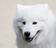 hundståendespitz Royaltyfria Bilder