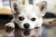 Hundstirranden in i kamera med en tafsar ut royaltyfria foton