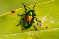 Hundstod-Käfer stockbild