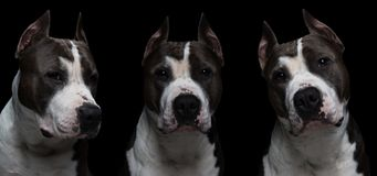 hundstridighet föder upp - den amerikanska gropen bull terrier - på en svart bakgrund i den isolerade studion collage royaltyfria bilder