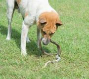 Hundstridighet med ormar arkivfoto