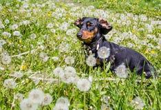Hundtax Dominik arkivbilder