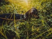 Hundtaxen går på en solig dag Fotografering för Bildbyråer