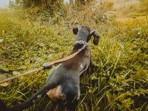 Hundtaxen går på en solig dag Royaltyfria Foton