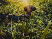 Hundtaxen går på en solig dag Arkivbilder