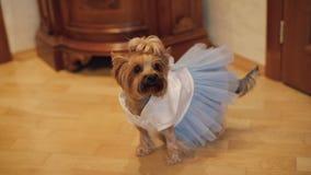 Hundterrier i rolig klänning arkivfilmer