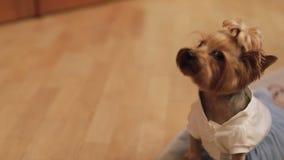 Hundterrier i rolig klänning lager videofilmer