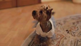 Hundterrier i rolig klänning stock video