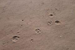 Hundtryck i sanden Arkivfoton