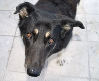 hundtyskshepard Royaltyfri Fotografi