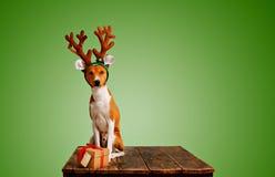 Hunduppklädd som julhjortar med gåva Arkivbild