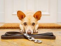 Hundväntningar på dörren för en gå royaltyfri fotografi