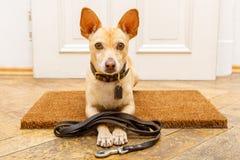 Hundväntningar på dörren för en gå royaltyfria bilder