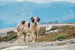 Hundvakt fåren arkivbilder