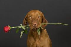 hundvalentin Arkivfoton