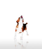 hundvalp Arkivfoton