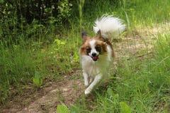 Hundvalp på gräs som kör in mot kameran arkivbild