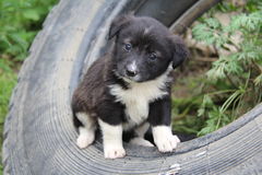 Hundvalpar Fotografering för Bildbyråer
