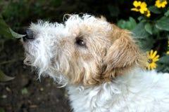 Hundvalpfoxterrier som sniffar ett blad i trädgården royaltyfria bilder