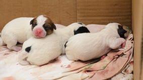 HundvalpJack Russell terrier som är höger efter födelse De ligger på säng arkivfoton