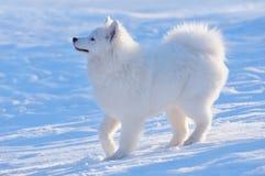 hundvalpsamoyed Arkivfoto