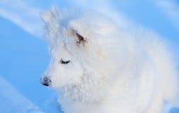 hundvalpsamoyed Royaltyfria Bilder