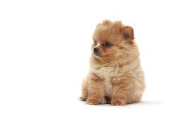 hundvalpspitz arkivfoton