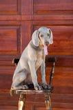 Hundweimaraner Stockfotografie