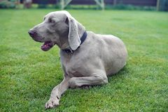 HundWeimaraner stående på sommarbakgrunden för grönt gräs royaltyfri fotografi