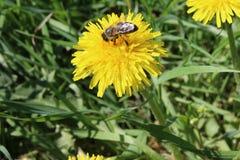 Huney de la abeja Imagen de archivo libre de regalías