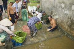 Hung Yen,越南- 2015年7月26日:人们在捉住以后收集重量的鱼在池塘在交付到市场前 免版税库存照片
