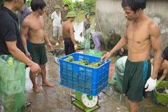 Hung Yen,越南- 2015年7月26日:收获从池塘的农夫鱼在Hung Yen 库存照片