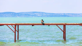 The Hungarian Balaton lake shore. Wild duck sits on a Stegen. Beneath the rippling lake Balaton Royalty Free Stock Photos