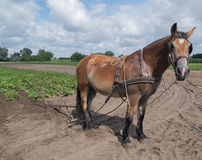 Hungarian brown horse. Brown horse looking at the edge of the plough Royalty Free Stock Photos