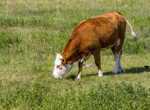 Hungarian cow Stock Photography