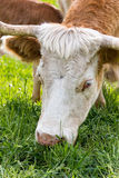 Hungarian cow Stock Images