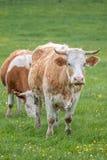 Hungarian cows Stock Photos