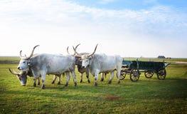 Hungarian Csikos ou pastores com Hungarian tradicional Grey Steppe Paridade do nacional de Hortobagy foto de stock