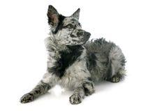Hungarian dog Stock Photo