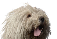 Hungarian dog Puli is looking left in the studio Royalty Free Stock Image