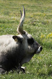 Hungarian gray bull Stock Images