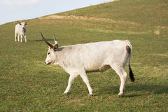 The hungarian gray cattle. Stock Image