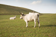 The hungarian gray cattle. Stock Photo