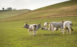 The hungarian gray cattle. Royalty Free Stock Photo