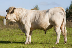 Hungarian gray cattle bull Royalty Free Stock Image