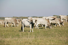 Hungarian gray cattle cows with calves grazing on pasture summer Stock Photo
